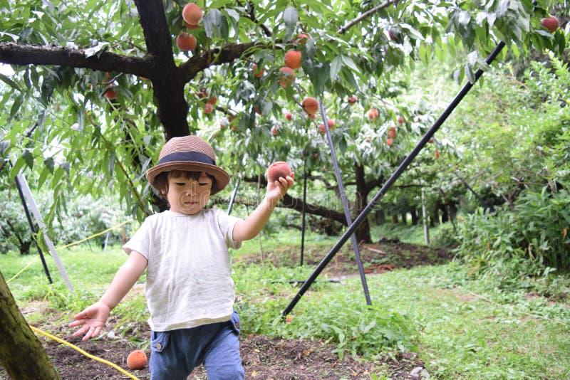 逗人喜爱的男孩摘是新鲜的桃子的果子 免版税库存照片