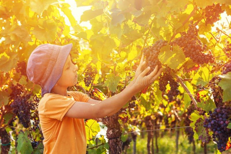 逗人喜爱的男孩用葡萄在葡萄园里 免版税图库摄影