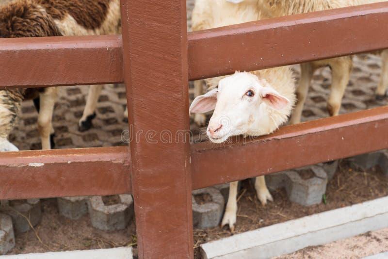 逗人喜爱的白羊在农场 免版税库存照片