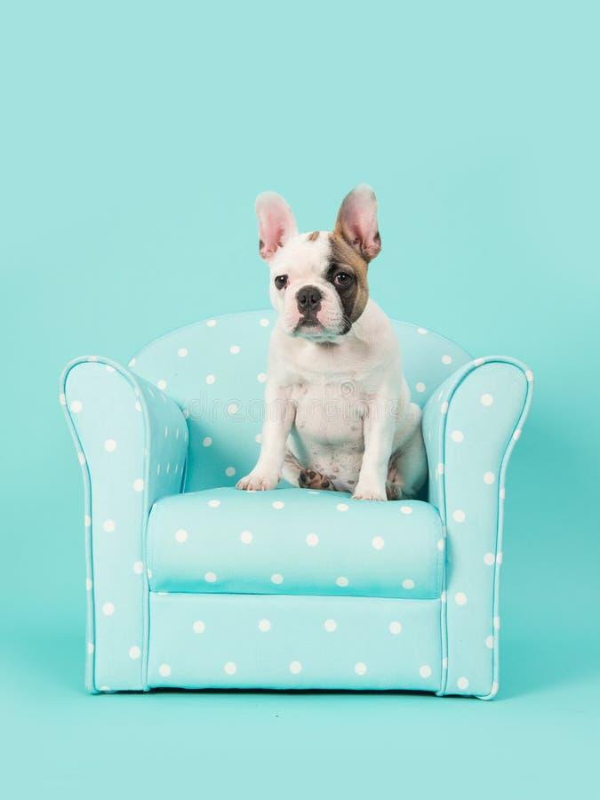 逗人喜爱的白色和棕色法国牛头犬小狗在一把蓝色椅子坐薄荷的蓝色背景 库存图片