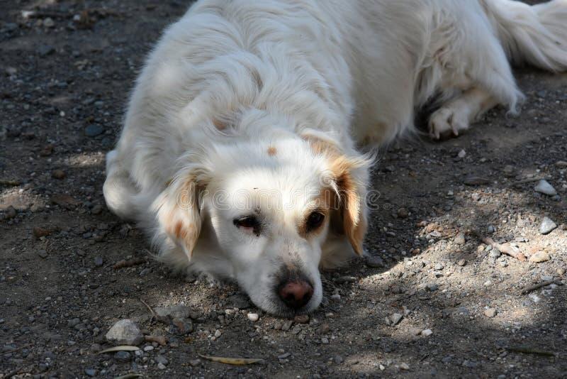 逗人喜爱的白色流浪狗在希腊 免版税库存图片