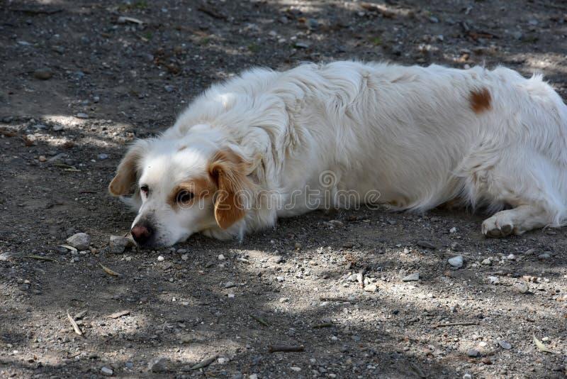 逗人喜爱的白色流浪狗在希腊 图库摄影