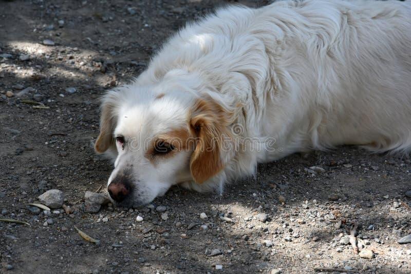 逗人喜爱的白色流浪狗在希腊 库存照片