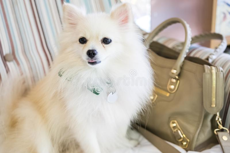 逗人喜爱的白色pomeranian狗 免版税库存图片