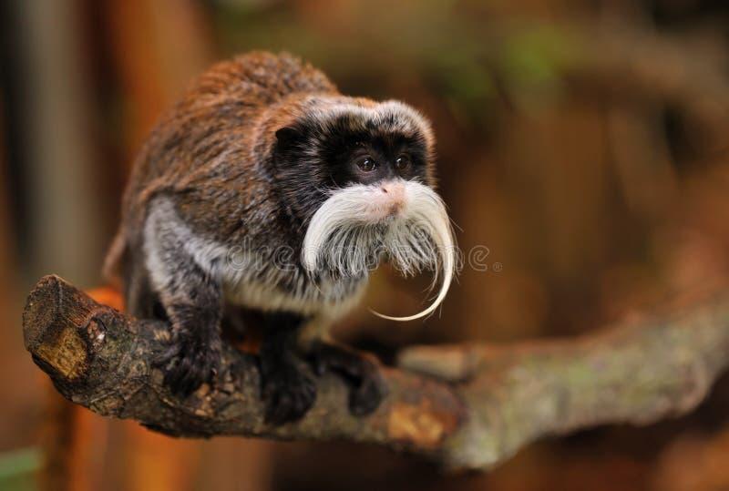逗人喜爱的皇帝绢毛猴 免版税库存图片