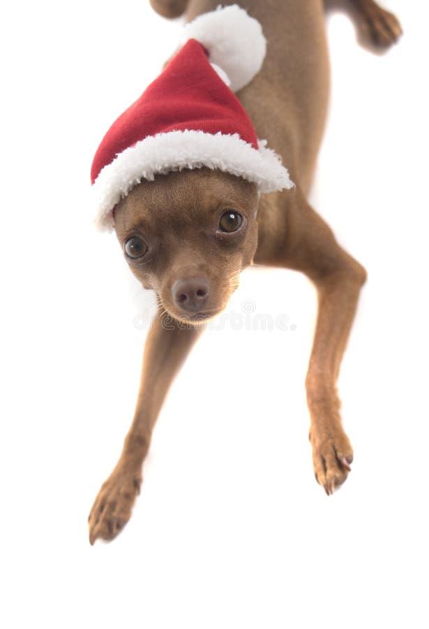 逗人喜爱的短毛猎犬狗在圣诞老人帽子 库存照片
