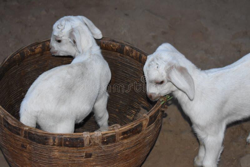 逗人喜爱的矮小的山羊孩子 库存照片