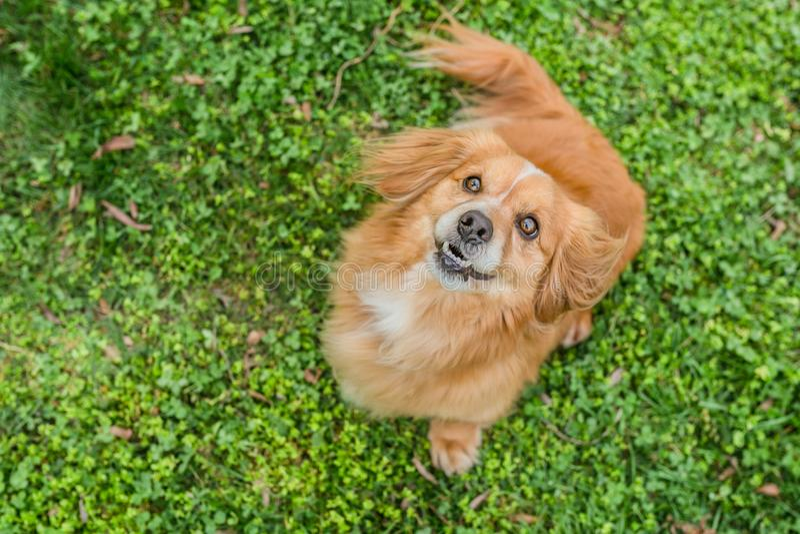 逗人喜爱的矮小的幼小混杂的品种狗顶视图画象  免版税图库摄影