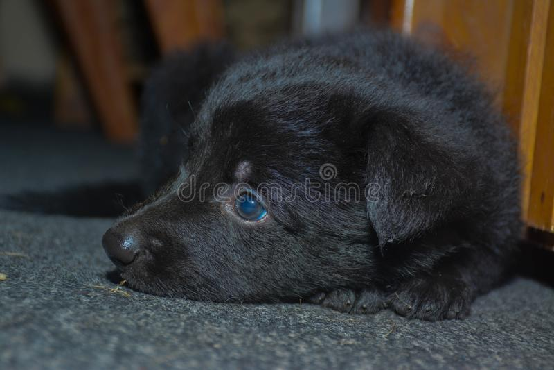 逗人喜爱的矮小的德国牧羊犬小狗 免版税图库摄影