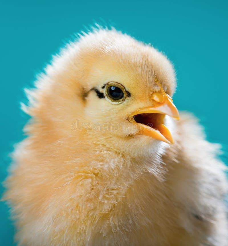 逗人喜爱的矮小的新出生的鸡 图库摄影