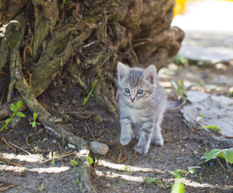 逗人喜爱的矮小的灰色小猫 免版税图库摄影