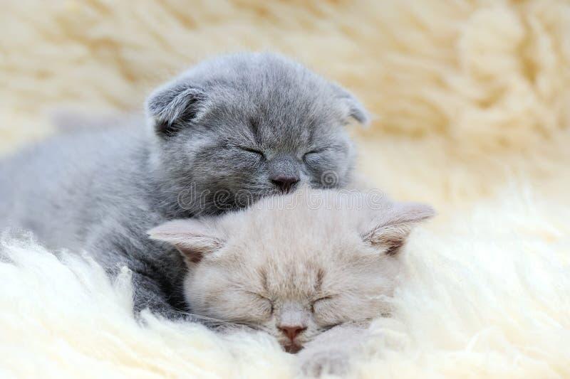 Download 逗人喜爱的矮小的灰色小猫 库存照片. 图片 包括有 滑稽, 讨人喜欢, 敌意, 子项, 小猫, 奶油, 方便 - 72366930