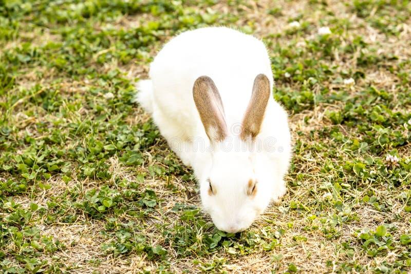 逗人喜爱的矮小的白色兔子穴兔串孔坐绿草 免版税库存图片