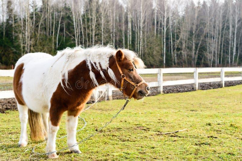 逗人喜爱的矮小的白色和棕色驹站立在木篱芭附近的, o 库存照片