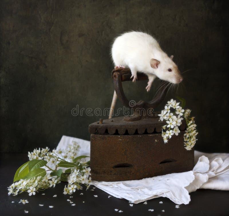 逗人喜爱的矮小的白色siamesse dumbo鼠坐古色古香的铁的把柄与开花的稠李和白色分支的  免版税图库摄影