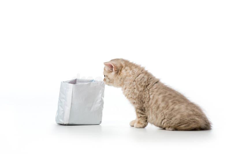 逗人喜爱的矮小的英国shorthair小猫嗅袋子 图库摄影