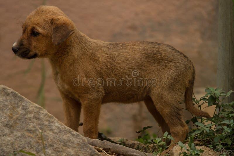 逗人喜爱的矮小的野生印地安小狗 库存图片
