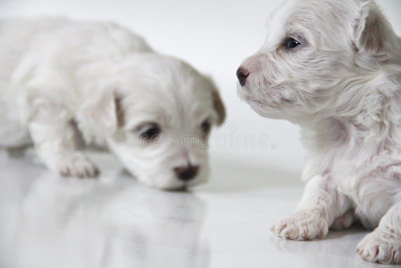 逗人喜爱的矮小的马尔他小狗 免版税库存照片
