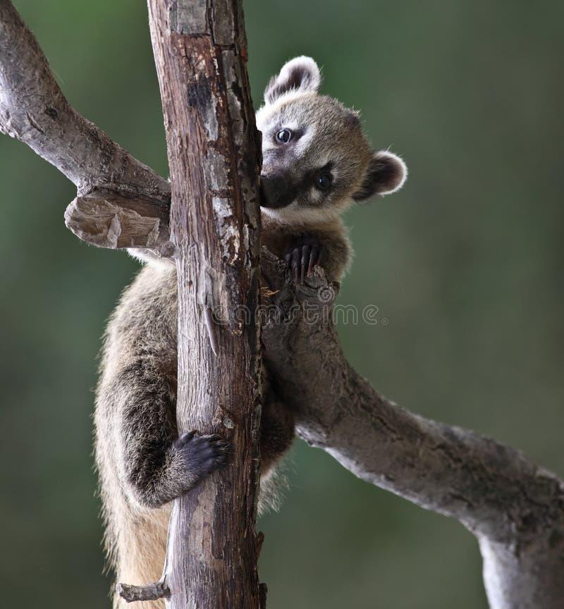 逗人喜爱的空白被引导的浣熊 免版税库存照片