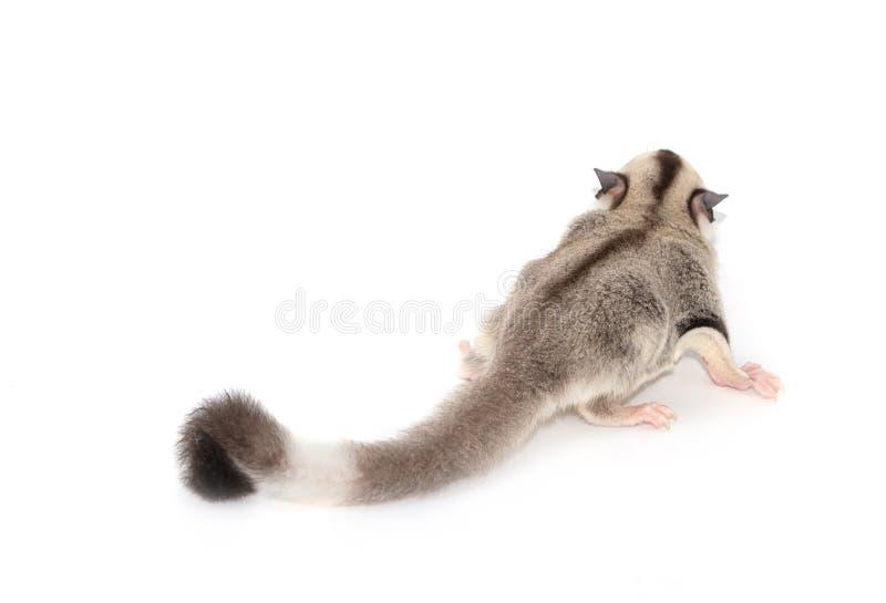 逗人喜爱的糖滑翔机 Petaurus breviceps, 免版税图库摄影