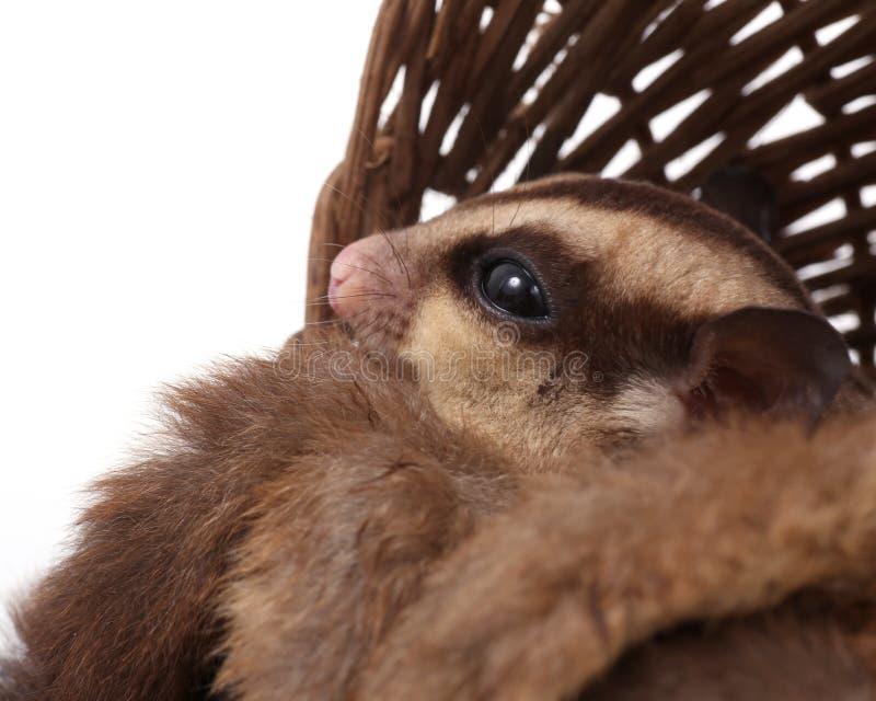 逗人喜爱的糖滑翔机- Petaurus breviceps 免版税库存图片