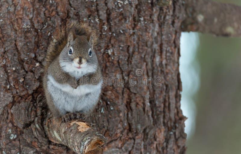 逗人喜爱的红松鼠,和看照相机的关闭,坐在一棵北安大略杉树的一个残破的分支树桩 免版税库存照片
