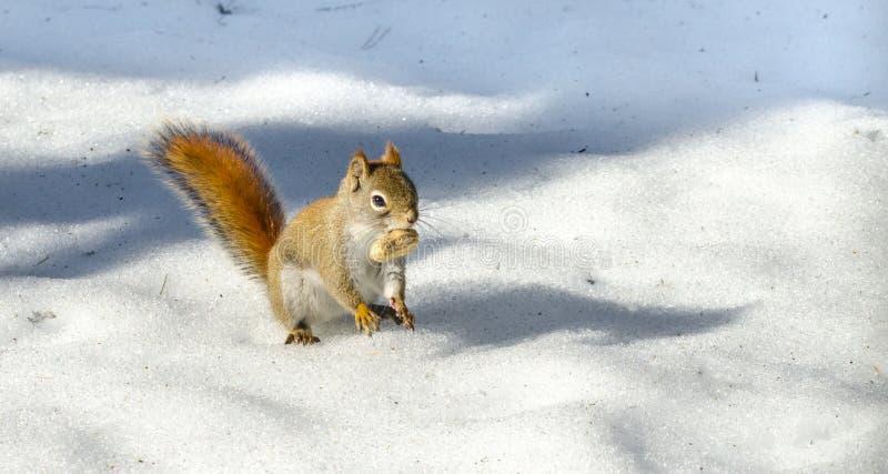 逗人喜爱的红松鼠,快的矮小的森林地生物 森林地生物利用一温暖的春天天 库存图片