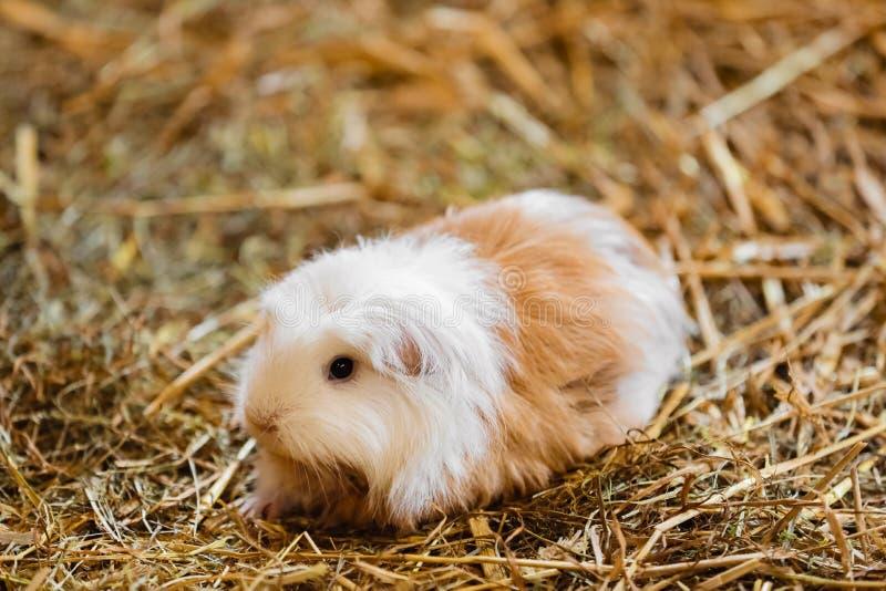 逗人喜爱的红色和白色试验品特写镜头 一点宠物在它的议院里 在干草的试验品 库存照片