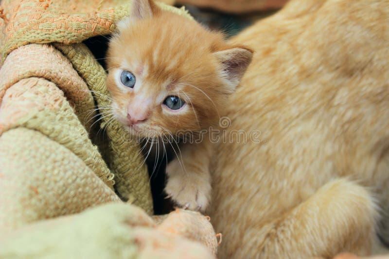 逗人喜爱的红色平纹小猫的模糊的照片 动物天,哺乳动物,宠物概念 库存图片