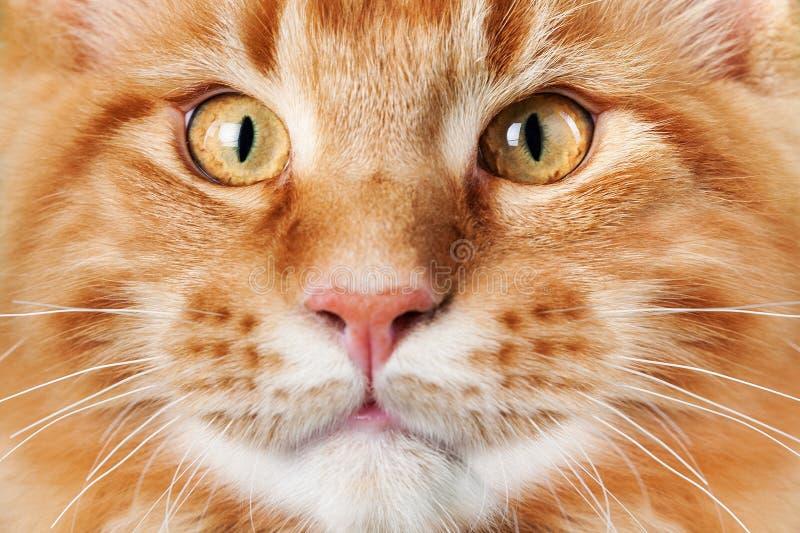 逗人喜爱的红色猫面孔,关闭 库存照片