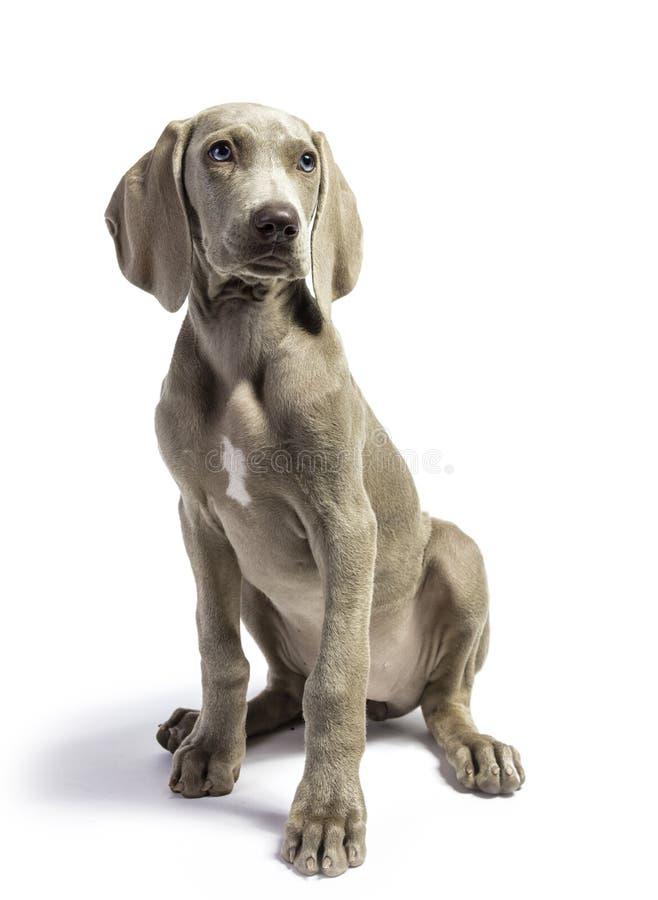 逗人喜爱的纯净的养殖的Weimaraner小狗 图库摄影