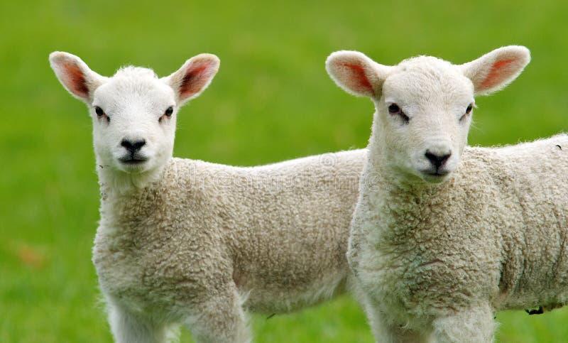 逗人喜爱的羊羔一点 免版税图库摄影