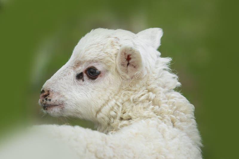 逗人喜爱的羊羔关闭 免版税图库摄影