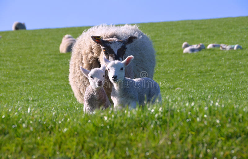 逗人喜爱的羊羔小的母亲绵羊二 免版税图库摄影