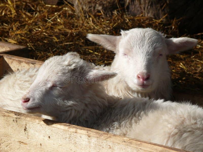 逗人喜爱的羊羔 库存照片