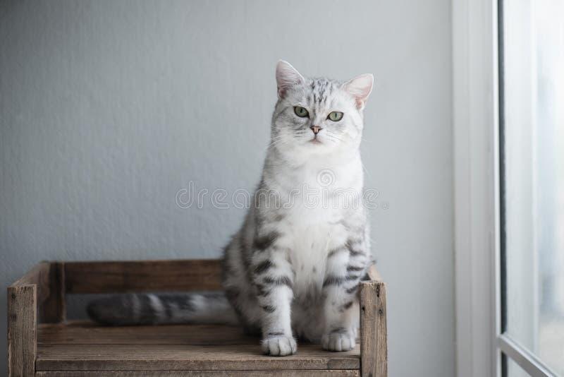 逗人喜爱的美国短发猫开会 库存照片