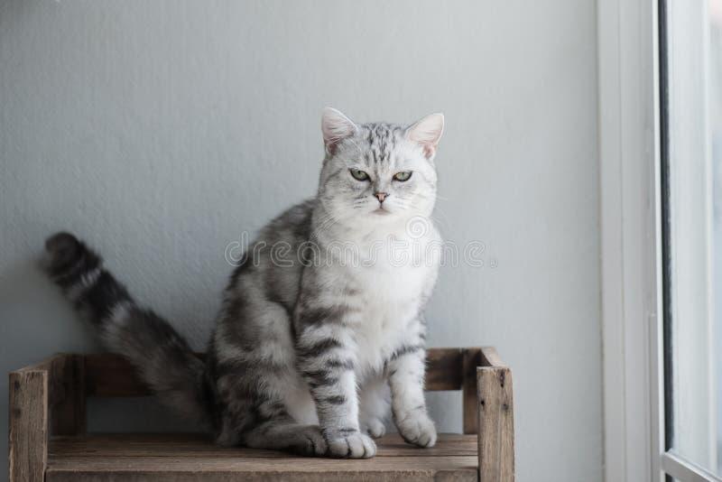 逗人喜爱的美国短发猫开会 免版税图库摄影