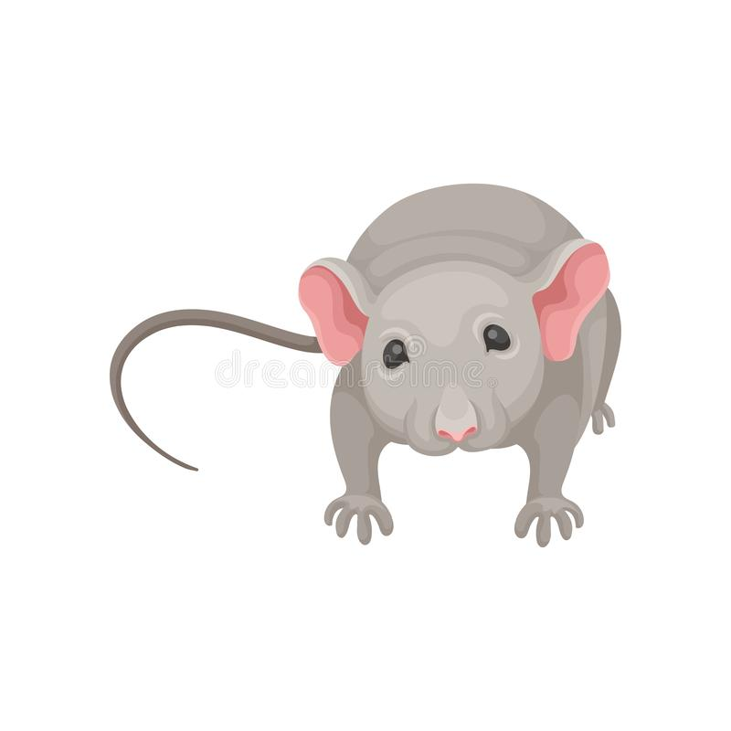 逗人喜爱的老鼠平的传染媒介象,正面图 与灰色外套、大桃红色耳朵和长尾巴的小啮齿目动物 向量例证