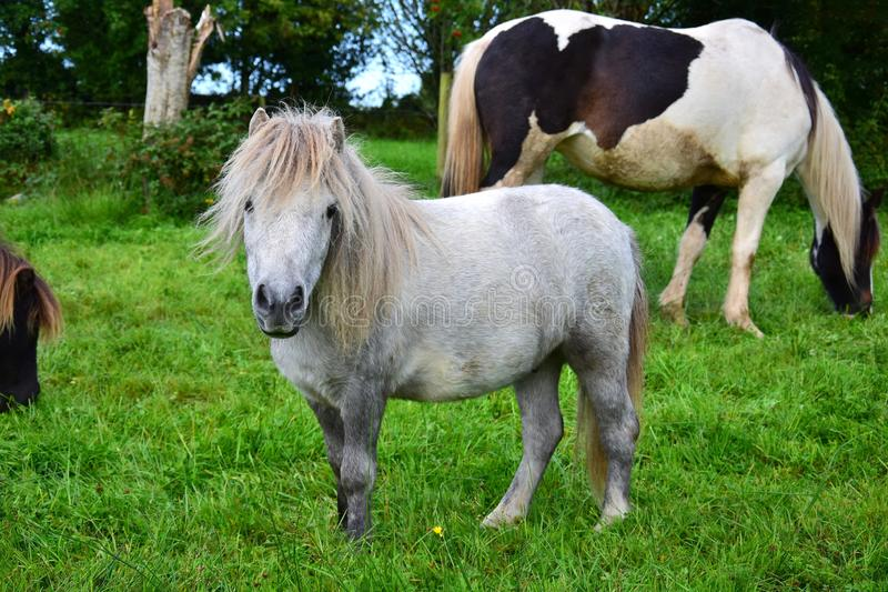 逗人喜爱的舍特兰群岛小马在爱尔兰 免版税图库摄影