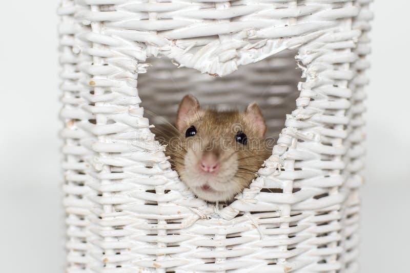 逗人喜爱的花梢鼠在心形的花瓶窗口里 免版税库存照片