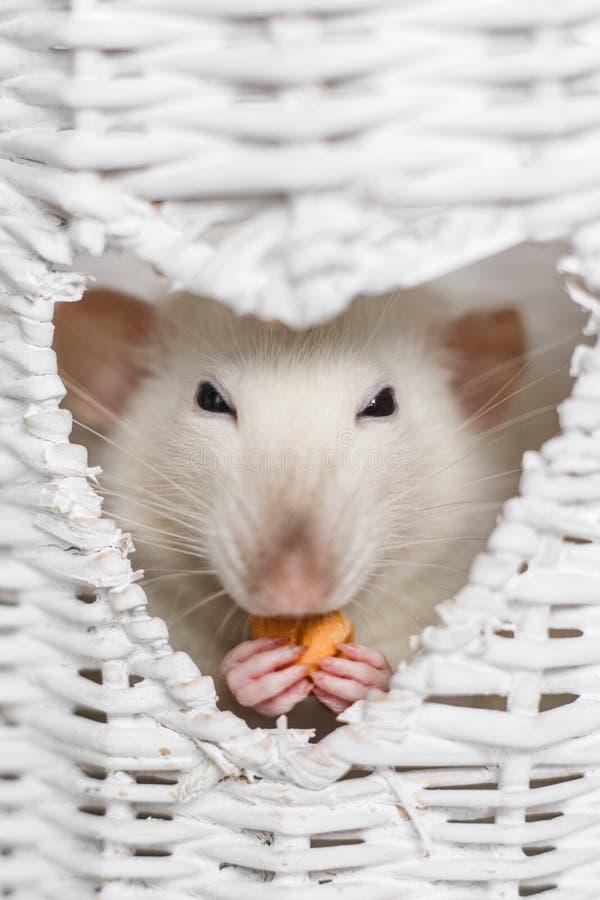 逗人喜爱的花梢鼠在心形的花瓶窗口里 图库摄影