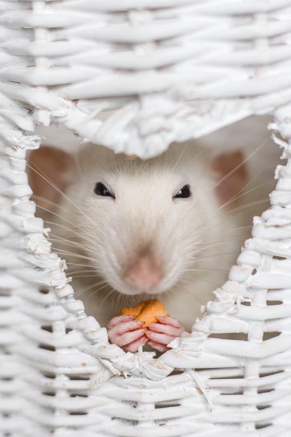 逗人喜爱的花梢鼠在心脏形状花瓶窗口里的吃款待 免版税库存图片
