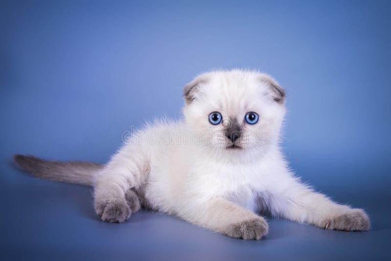 逗人喜爱的苏格兰人折叠与蓝眼睛的shorthair银色颜色图片