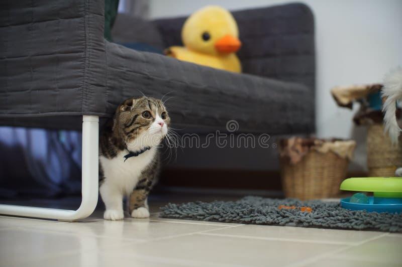逗人喜爱的苏格兰人折叠掩藏在长沙发下的小猫 库存图片