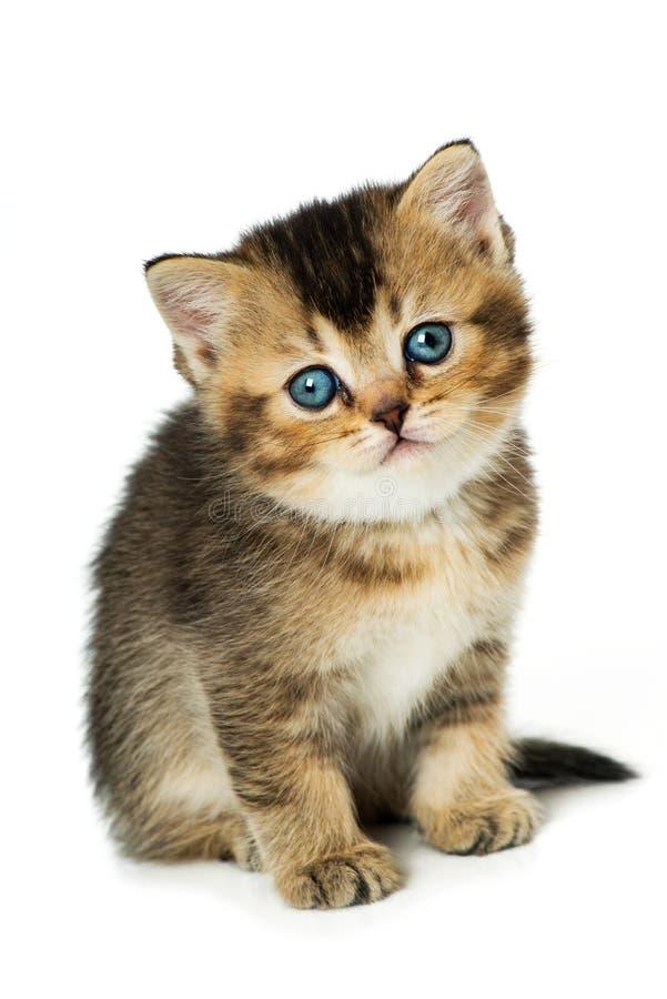 逗人喜爱的英国shorthair小猫坐白色背景 库存图片