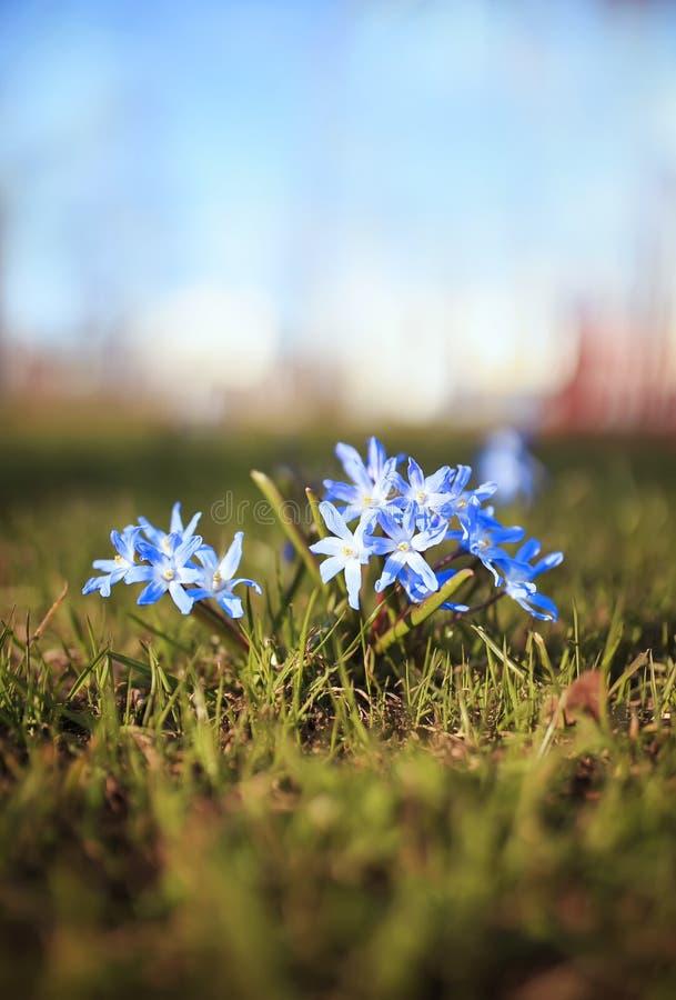 逗人喜爱的蓝色精美花开了花在温暖的春天光芒下在公园 免版税库存图片