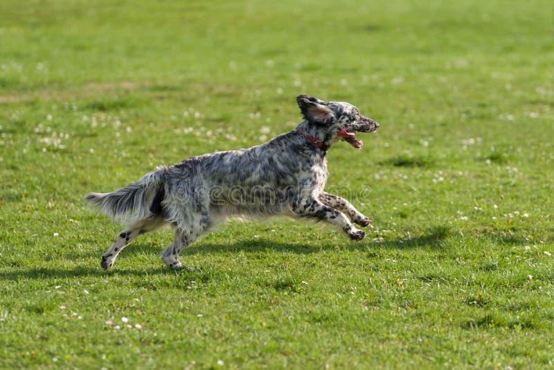 逗人喜爱的蓝色belton英国塞特种猎狗狗是在草甸的连续十字架 库存图片