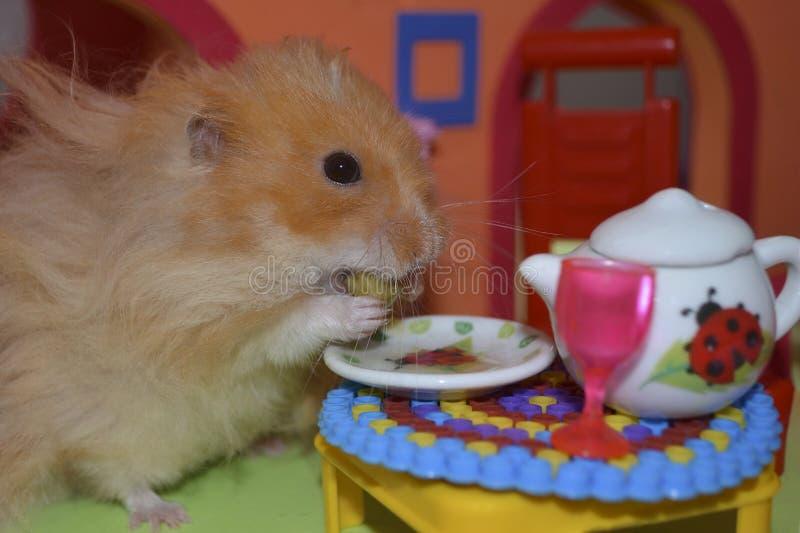 逗人喜爱的蓬松浅褐色的仓鼠吃一个豌豆在桌上在他的房子里 免版税库存图片