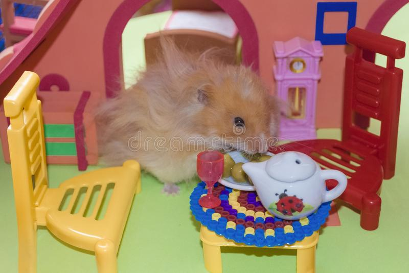 逗人喜爱的蓬松浅褐色的仓鼠吃豌豆在桌上在他的房子里 免版税库存照片
