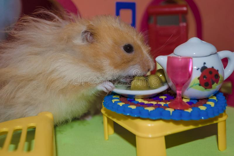 逗人喜爱的蓬松浅褐色的仓鼠吃豌豆在桌上在他的房子里 特写镜头宠物吃 免版税库存图片